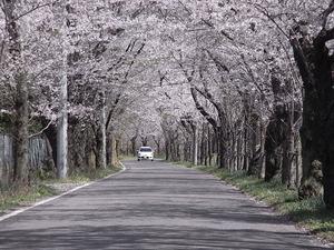 太平山遊覧道路 桜のトンネル9