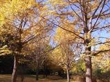 玉川上水口近くイチョウ並木3
