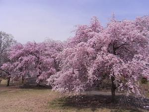 つがの里の枝垂れ桜たくさん