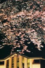 自由学園の夜桜8