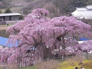 三春滝桜の横姿