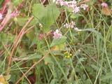 蜂とそばの花