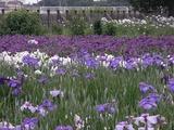 花菖蒲の花畑2