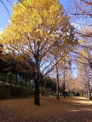 国営昭和記念公園の黄葉したイチョウ04