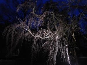 日暮れにライトアップされた角館武家屋敷のしだれ桜もまだ咲く前1
