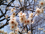 梅が満開水戸偕楽園09