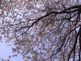 幸手権現堂堤の桜01