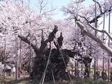 山高神代桜のアップ2