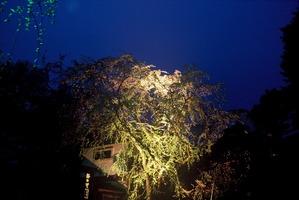 照らされたライトの光りに浮かび上がる東北三大桜 角館武家屋敷のしだれ桜ライトアップ