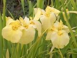 黄色い花菖蒲1