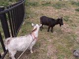 白ヤギと黒ヤギ