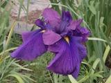 濃い青紫色の花菖蒲1