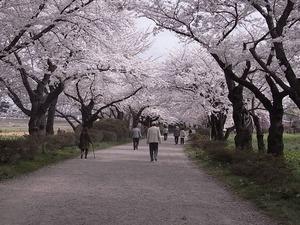 北上展勝地 満開の桜のトンネル1
