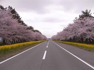 八郎潟11kmの菜の花と桜並木 道の真ん中から撮影