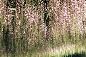 あしかがフラワーパークライトアップで浮かび上がる藤の花のアップ