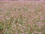 花が咲いているそば畑