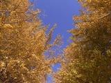 うんどう広場脇のイチョウ並木を望む1