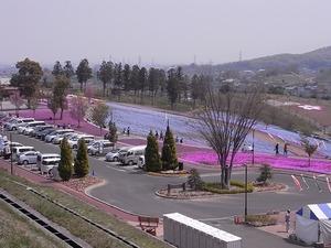 太田市北部運動公園 おおた芝桜まつり ネモフィラと芝桜全景