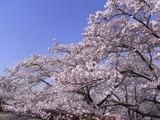 大法師公園の桜1