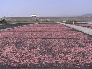 桜えびの天日干し場2
