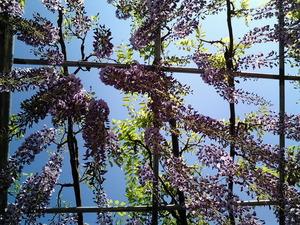 あしかがフラワーパーク満開で見頃の大藤の花を下から見る