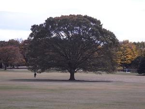 昭和記念公園の巨大な木