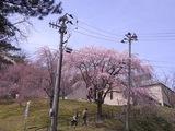 歴史民俗資料館の桜2