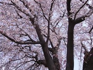 つがの里桜の枝振り