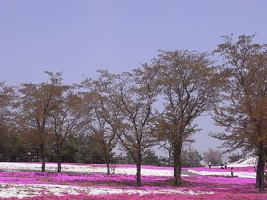 太田市北部運動公園 おおた芝桜まつり 桜の木と芝桜1