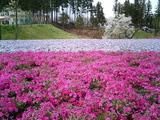 羊山公園の芝桜6
