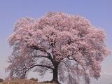 王仁塚の桜2