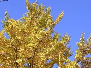 国営昭和記念公園の黄葉したイチョウ02