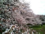 砧公園の桜18