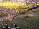 幸手権現堂堤の桜15