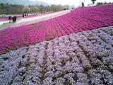 羊山公園の芝桜8
