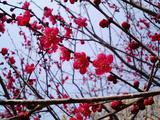 梅が満開水戸偕楽園10