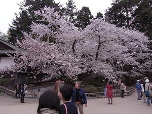 弘前城日本最古のソメイヨシノの満開の花を咲かせている姿