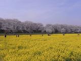 満開の桜並木と菜の花畑3
