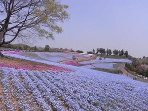 太田市北部運動公園 おおた芝桜まつり ネモフィラと芝桜