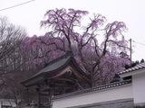 法華寺の桜3