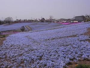 太田市北部運動公園 おおた芝桜まつり ネモフィラの花畑2