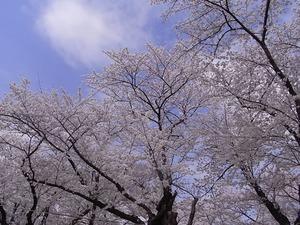 北上展勝地 目一杯花を咲かせた桜並木1