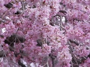 三春滝桜の花3