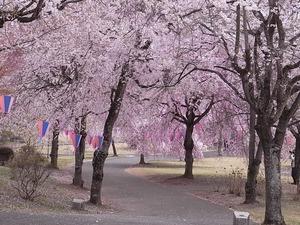 つがの里の桜たち
