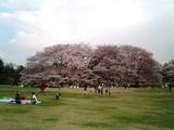 砧公園の桜08