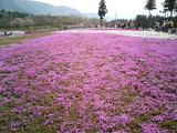 羊山公園の芝桜7