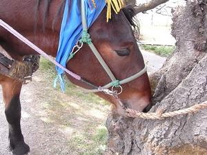 北上展勝地 桜の木を食べてる馬車の馬アップ