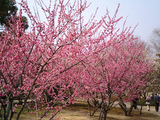 梅が満開水戸偕楽園17
