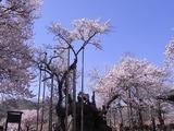 山高神代桜1