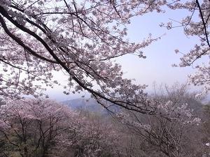 太平山謙信平から桜越しに遠景を望む2